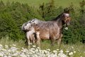 Portrait of nice appaloosa mare with foal Royalty Free Stock Photo