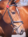 Portrait of nice bay  horse in bridle closeup Royalty Free Stock Image