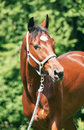 Portrait of nice bay horse in move Royalty Free Stock Photography