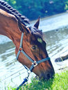Portrait of  nice bay mare in river Royalty Free Stock Photos