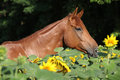 Portrait of nice brown horse hidden in sunflowers Royalty Free Stock Photography