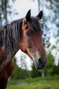 Portrait of nice brown horse in summer forest Royalty Free Stock Photo