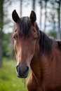 Portrait of nice brown horse in summer forest Royalty Free Stock Photography