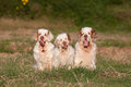 Portrait of nice clumber spaniels Stock Image