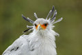 Portrait of nice grey bird of prey Secretary Bird Sagittarius serpentarius, with orange face Royalty Free Stock Photo