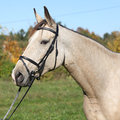 Portrait of nice kinsky horse with bridle palomino in autumn Stock Image