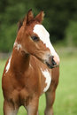 Portrait of nice Paint horse filly Royalty Free Stock Photo