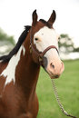 Portrait of nice paint horse mare with show halter Stock Photo