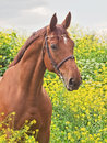 Portrait of nice red horse around yellow flowers Stock Photos