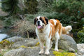 Portrait of a nice St. Bernard dog Royalty Free Stock Photo