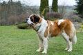 Portrait of a nice St. Bernard dog Royalty Free Stock Photo