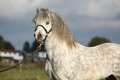 Portrait of nice welsh mountain pony stallion with halter Royalty Free Stock Images