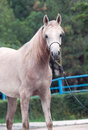 Portrait of nice young arabian mare Royalty Free Stock Photo