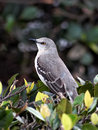 Portrait of a northern mockingbird perched on bush Royalty Free Stock Images
