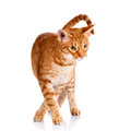 Portrait of a ocicat cat on a white background Royalty Free Stock Photo