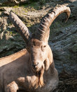 Portrait od barbary sheep ram of ammotragus lervia Stock Images