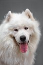 Portrait ofl dog samoyed of a beautiful breed Stock Photos