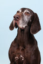 Portrait old dog Royalty Free Stock Photo