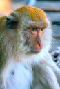 Portrait of an old monkey a thoughtful macaque Stock Photo