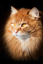 Portrait of an orange cat, isolated on black background Royalty Free Stock Photo