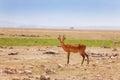 Portrait of oribi standing in deserted savanna