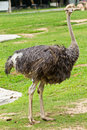 Portrait of ostrich Stock Images