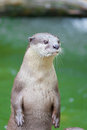The portrait of Otter with green pool Royalty Free Stock Photo