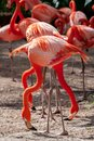 Portrait of a pair of flamingo birds in their natural environment. Royalty Free Stock Photo