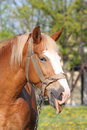 Portrait of palomino horse showing tongue Royalty Free Stock Photography