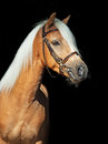 Portrait of palomino welsh pony at black background sunny day Stock Photo