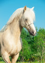 Portrait of palomino welsh pony in motion outdoor Stock Image