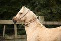 Portrait of palomino welsh pony with rope around its neck and head Royalty Free Stock Image