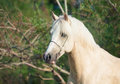 Portrait of palomino welsh pony stallion outdoor Stock Photography
