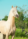 Portrait of palomino welsh pony stallion outdoor Royalty Free Stock Photo
