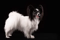 Portrait Papillon puppy age of four months Royalty Free Stock Photo