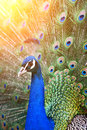 Portrait of peacock with feathers backlight beautiful Royalty Free Stock Image