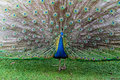Portrait of peacock with feathers out beautiful Royalty Free Stock Image