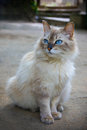 Portrait of pedigreed cat with blue eyes Stock Photography