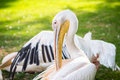 Portrait of a pelican background wallpaper Royalty Free Stock Image
