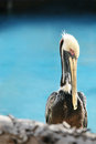 Portrait of pelican close up in her hábitad Stock Photo