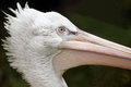 Portrait of pelican funny a young on the dark background Royalty Free Stock Photos