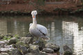 Portrait of pelican on the rocks in a pond Royalty Free Stock Images