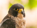 Portrait of peregrine falcon head falco peregrinus fastest animal in the world Stock Photography