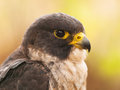 Portrait of peregrine falcon head falco peregrinus fastest animal in the world Stock Images