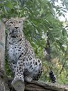 Portrait of Persian Leopard, Panthera pardus saxicolor Royalty Free Stock Photo