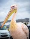 Portrait of petros the pelican of mykonos greece Stock Photos