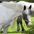 Portrait of piebald horse outdoors a beautiful Stock Image