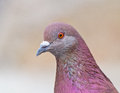 Portrait of pigeon closeup image a with pink feathers in urban park Royalty Free Stock Photos