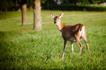 Portrait of pregnant whitetail deer doe Royalty Free Stock Photo