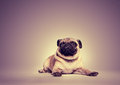 Portrait of a pug Stock Photo